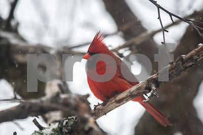 Robert Layman / Staff Photo A northern cardinal perches on a crab apple tree in West Rutland during Friday's snow showers.