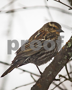 Robert Layman / Staff Photo A female red-winged blackbird perches on a crab apple tree in West Rutland
