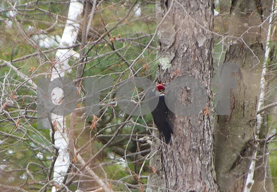 Robert Layman / Staff Photo A pileated woodpecker drills into a tree in West Rutland Tuesday morning.