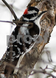 Robert Layman / Staff Photo A downy wood pecker perches on the side of a branch.