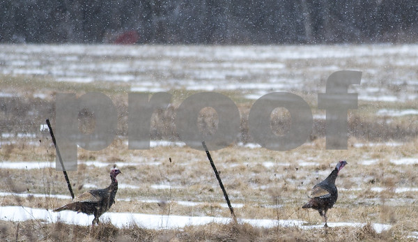 Robert Layman / Staff Photo A pair of turkeys crosses through a pasture in West Rutland Friday morning.