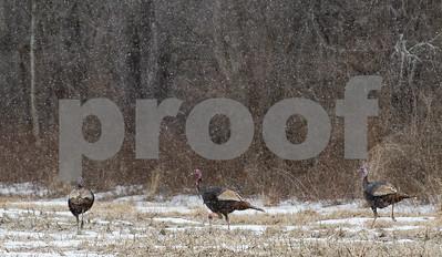 Robert Layman / Staff Photo A trio of turkeys crosses through a pasture in West Rutland Friday morning.