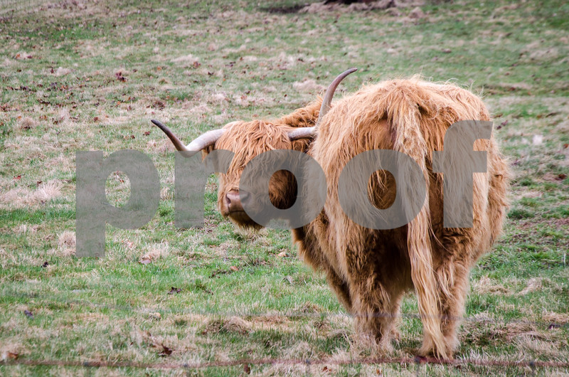 Robert Layman / Staff Photo A Scotish highland steer turns its head in a pasture while grazing during the rain Tuesday afternoon in Belmont.