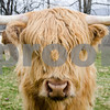 Robert Layman / Staff Photo A Scotish highland steer poses for a portrait a pasture while grazing during the rain Tuesday afternoon in Belmont.