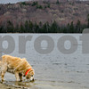 Robert Layman / Staff Photo A dog laps up water on the blustery shores of Star Lake in Belmont Tuesday afternoon.