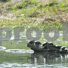 2 Column max Robert Layman / Staff Photo Ten turtles sun bathe together in Pittsford Monday afternoon