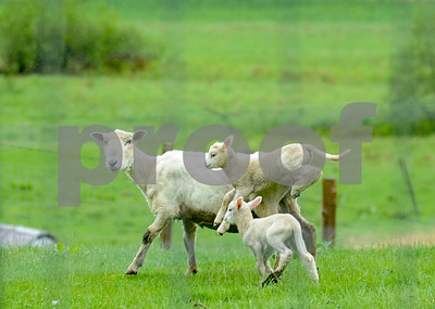 Robert Layman / Staff Photo  A young lamb leaps besides its mother as they graze through a pasture in Clarendon Monday.