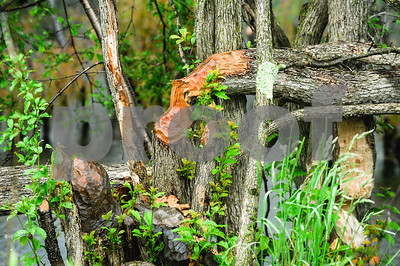 Robert Layman / Staff Photo Wet trees are seen with woodchuck marks at the Pomainville Wildlife Management area Tuesday June 6, 2017.