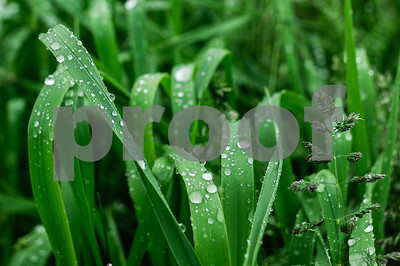 Robert Layman / Staff Photo Blades of grass collect raindrops during the never ending rain at the Pomainville Wildlife Management Area in Pittsford Tuesday.