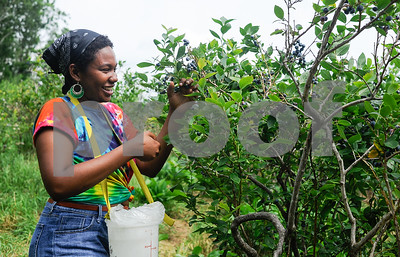 Robert Layman / Staff Photo Luz Uribe harvests blueberries for herself at Smokey House blueberry patch in Danby Thursday morning.