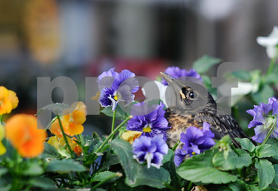 Robert Layman / Staff Photo A young robin waits in a bed of petunias outside Frogs & Lily  Pads on Center Street for its parents to bring home the food Tuesday night.