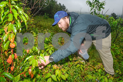 Robert Layman / Staff Photo Scott Langsdale , 27, of Pittsburgh,harvests blueberries at the blueberry area.