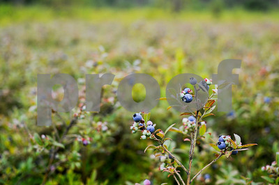 Robert Layman / Staff Photo The native blueberries are of the low bush variety which Knox said is great for young children.
