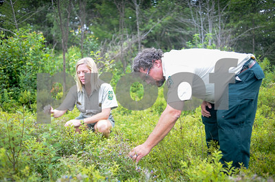 Robert Layman / Staff Photo Holly Knox, left, and Michael Burbank search for blueberries.