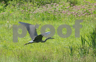 Robert Layman / Staff Photo A great blue heron flies over the Ottauquechee River in Killington recently.