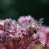 Robert Layman / Staff Photo A bee digs deep for pollen