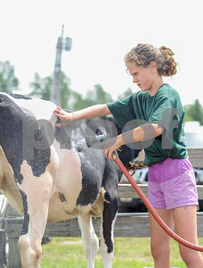 Robert Layman / Staff Photo It's crunch time for the 4-H kids participating in animal showings at the Vermont State Fair, and keeping a Holstien calf clean for the judges requires a lot of work. Seen here is Emma Seward, washing her calf Carnation for the second time Tuesday at the Vermont State Fairgrounds. Seward said she will typically wash  Carnation three times a day because it not only helps keep her clean, but also cool.