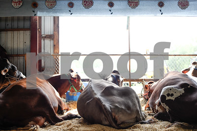 Robert Layman / Staff Photo Cows rest inside the cattle house at the Vermont State Fairgrounds Tuesday August 15, 2017.