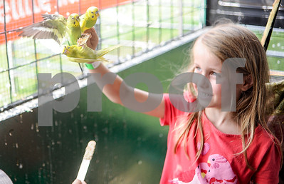 Robert Layman / Staff Photo Kami Kage, 7, of Germany, holds up a wooden stick as a trio of parakeets feed from it inside the Adirondack Traveling Aviary exhibit at the Vermont State Fair Tuesday.