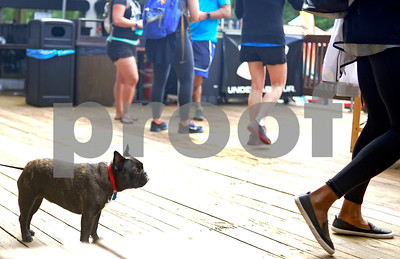 Robert Layman / Staff Photo  A french bull dog waits in line at the grill, catching wofts of frying burgers and chili-lime butter dipped corn cobs, as runners grub out after competiing in the Underarmour Mountain Runing Series at Killington Resort Saturday afternoon.