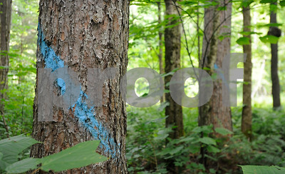 Robert Layman / Staff Photo  Trees marked with blue paint along Wheelerville Road in Mendon, August 22, 2017.