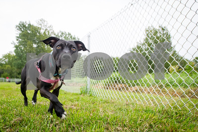 Robert Layman / Staff Photo Roxy, a 3 year-old mixed rescue dog walks along the fence line in the new West Rutland Dog Park August 29, 2017.