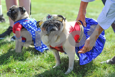 Robert Layman / Staff Photo A pug dressed up as the DC Comics superhero Wonder Woman waits to be judged during the costume contest at the Green Mountain Pug Rescue's 15th annual Pug Social Saturday afternoon at the Sherburne Memorial Library in Killington. Dozens of pugs from all over the region attended the event which helps raise money to shelter and find pugs homes.