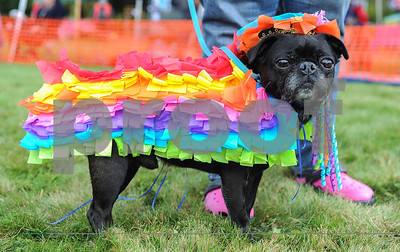 Robert Layman / Staff Photo A pug decorated in a piniata costume stands at ease as its judged during the 15th annual Pug Social hosted by Green Mountain Pug Rescue Saturday afternoon at the Sherburne Memorial Library in Killington.