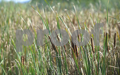 Robert Layman / Staff Photo Cattails sway in the wind Tuesday afternoon at the West Rutland Marsh.