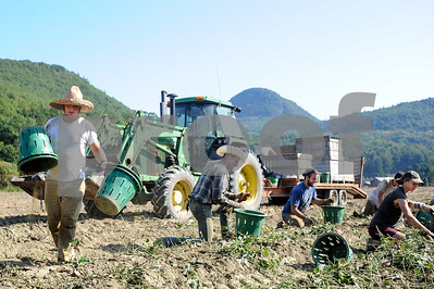 Robert Layman / Staff Photo Stephen Therry, left, sets out harvest buckets as the work crew moves down the 1,000ft row.