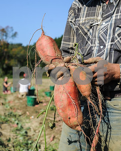 Robert Layman / Staff Photo Timothy Hughes-Muse, co-owner of Laughing Child Farm in Pawlet, drives holds out large sweet potatos Monday morning. Hughes-Muse said the largest potato he's pulled was 53 ounces -- over 4 pounds.