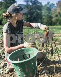 Robert Layman / Staff Photo Kris Harmelink pulls a handful of sweet potatoes out of the ground. The process is made easier by a machine that hills the potatoes