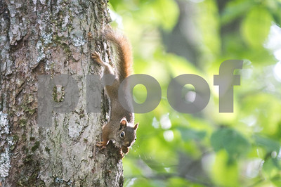 Robert Layman / Staff Photo A red squirrel poses with an acorn Tuesday afternoon at the Lefferts Pond Recreation Area Tuesday afternoon.