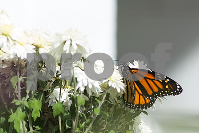 Robert Layman / Staff Photo  A monarch butterfly stops to rest on a pot of white flowers in Rutland Town Tuesday afternoon.