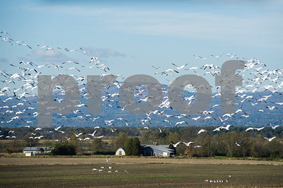 Robert Layman / Staff Photo A flock of several hundred snow geese take flight from a corn field in Addison  Wednesday morning. The geese visit this part of the state during their migration to the lower half of North America, which is vastly different than when they're born, which is in the n Canadian and Northern Alaskan tundra. According to the Cornell Lab of Ornithology, the oldest snow goose recorded was 27 years old.