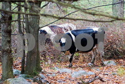 Robert Layman / Staff Photo A cow takes shelter in the forest from the pasture as rain falls in Tinmouth Monday morning, Nov 6, 2017.