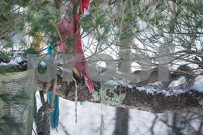 Robert Layman / Staff Photo Traditionally, Tibetan prayer flags are strung to promote wisdom, strength, compassion and peace. Perhaps that is what this eastern grey squirrel in Ira wanted to bring back to its hovel to help get through the frigid temperatures Wednesday Dec. 28, 2017.
