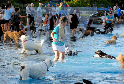 Jeb Wallace-Brodeur / Staff Photo Barbara Watson of East Montpelier is surrounded by dogs as she retrieves a tennis ball during the Central Vermont Humane Society's annual Dog Day at the Pool fundraiser at the Montpelier municipal pool Wednesday.