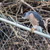 January 4, 2018:  Another shot of the Cooper's hawk from yesterday,