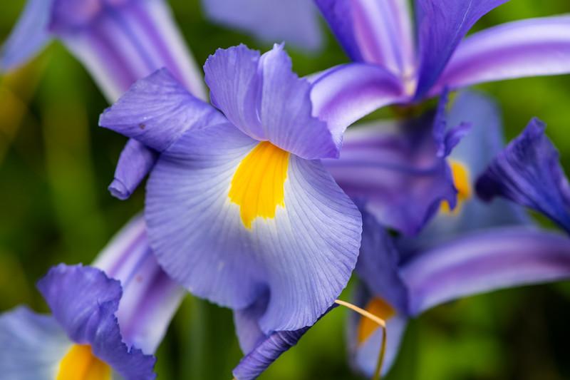 Baby Iris
