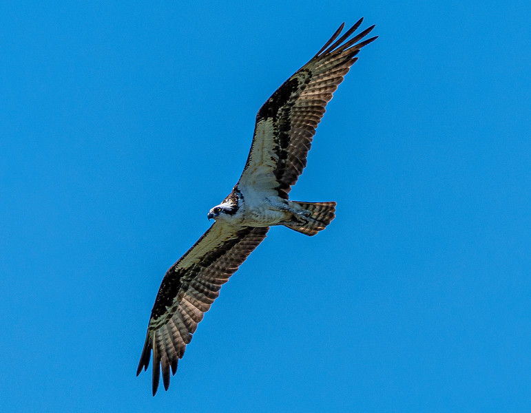 Osprey in search of