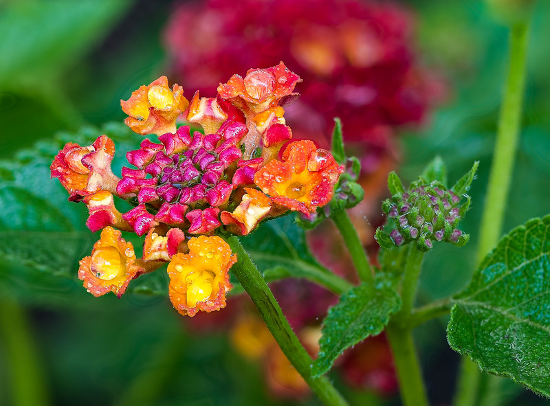 Lantana right after a rain