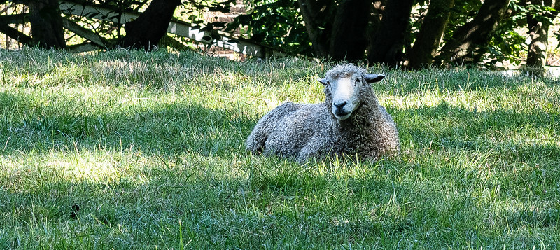 Lounging sheep