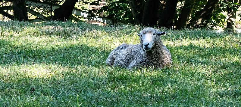 Lounging sheep