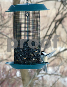 Robert Layman / Staff Photo A black-capped chickadee lands on the feeder at the West Rutland Marsh Thursday morning, Jan. 11, 2018.