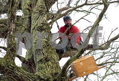 Robert Layman / Staff Photo  Michael Sabatino pulls a bird box up into the bur oak tree.