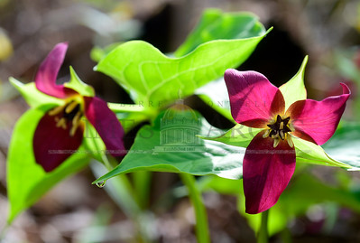 Jeb Wallace-Brodeur / Staff Photo Trillium plants blossom Thursday in Websterville. The blooms, also known as Wake Robin, are one of the showier spring wildflowers in our area.