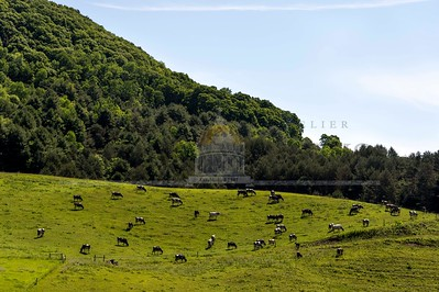 "Cattle dot a hillside in Tunbridge known locally as ""The Pinnacle"" on Sunday along Route 110.  Josh Kuckens/Staff Photo"