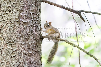 A squirrel stops for a rest while scaling a tree in Montpelier's Hubbard Park on Monday.  Josh Kuckens/Staff Photo