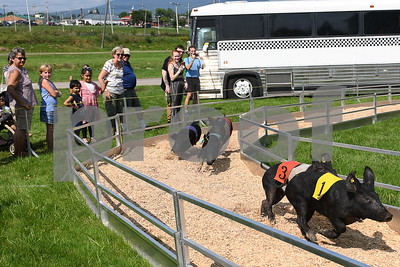 Spectators watch as pigs race around the track at the Vermont State Fair Thursday afternoon. (Robert Layman / Staff Photo)